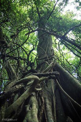 Taru Menyan tree