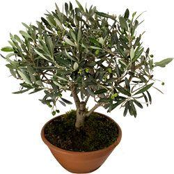 Les 25 meilleures id es concernant olivier en pot sur for Plante un olivier