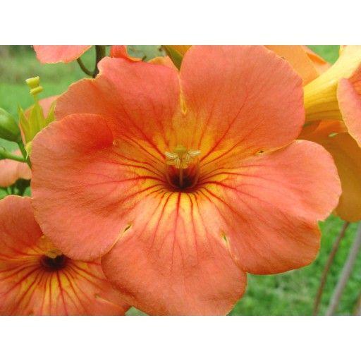 Campsis grandiflora Morning Calm