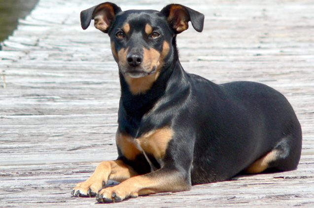 Feisty and fearless, the Manchester Terrier is a tenacious guy that has no clue that he is a small dog. He will readily alert his owners when strange things are afoot in the area but is not aggressive and will not approach strangers in a vicious manner. His sleek, good looks should show off his [...]