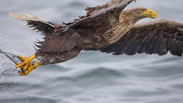 The White-tailed Eagle (Haliaeetus albicilla ) — also called the Sea Eagle, Erne (sometimes Ern), and White-tailed Sea-eagle — is a large bird of prey in the family Accipitridae which includes other raptors such as hawks, kites, and harriers. It is considered a close cousin of the Bald Eagle and occupies the same ecological niche, but in Eurasia.