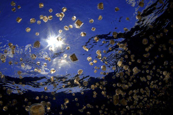 A mikronéziai tavacskában 8 millió medúza élt, míg be nem ütött a klímaváltozás.