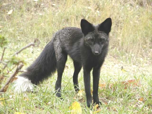 Best Fox Breeds Ideas On Pinterest Gag Face Tibetan Dog - 20 striking photographs that reveal the beauty of rare black foxes