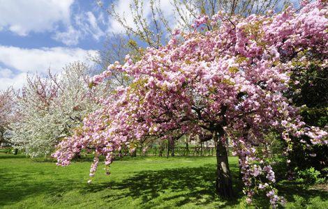 Alle Jahre wieder schmücken Tausende Mandelblüten die Pfalz mit ihrer lieblichen Pracht. Auf dem Mandelpfad zwischen Bad Bergzabern und Bad Dürkheim ist das eindrucksvolle Naturwunder ab März zu sehen (Foto: iStock/ZU_09)