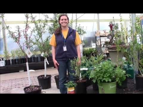 Advice on How to Get Fruit Trees & Shrubs to Pollinate with Stauffers of Kissel Hill Garden Centers' expert Ali. Get more info about Stauffers Garden Centers here: http://www.skh.com/home-garden/