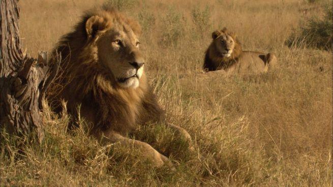 Il leone nel suo habitat