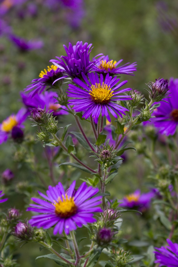 50 best aster images on pinterest aster daisies and bellis perennis vintage gathering wedding flowers aster available from january and comes it lovely pinkspurples izmirmasajfo Image collections