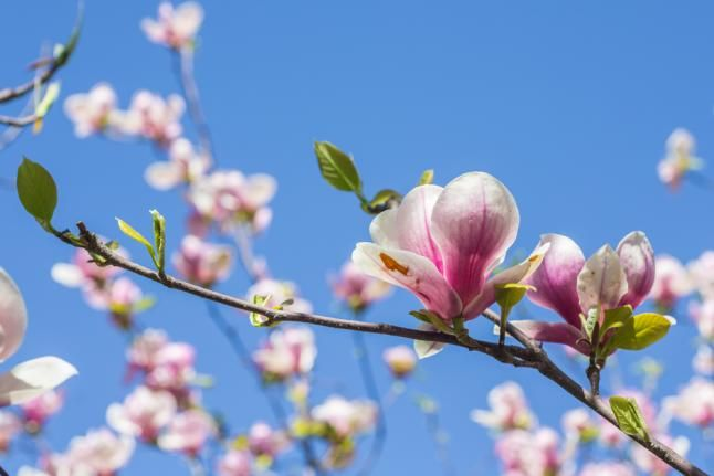 Compound in magnolia may combat head, neck cancers - The compound has been used for hundreds of years in Chinese and Japanese medicine to treat anxiety can also be used to shrink tumors in head and neck cancers