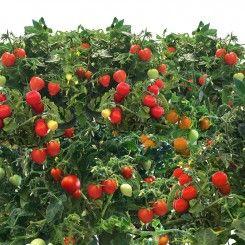 Mighty Mini Cherry Tomato Seed Pod Kit 7 Pod Cherry 400 x 300
