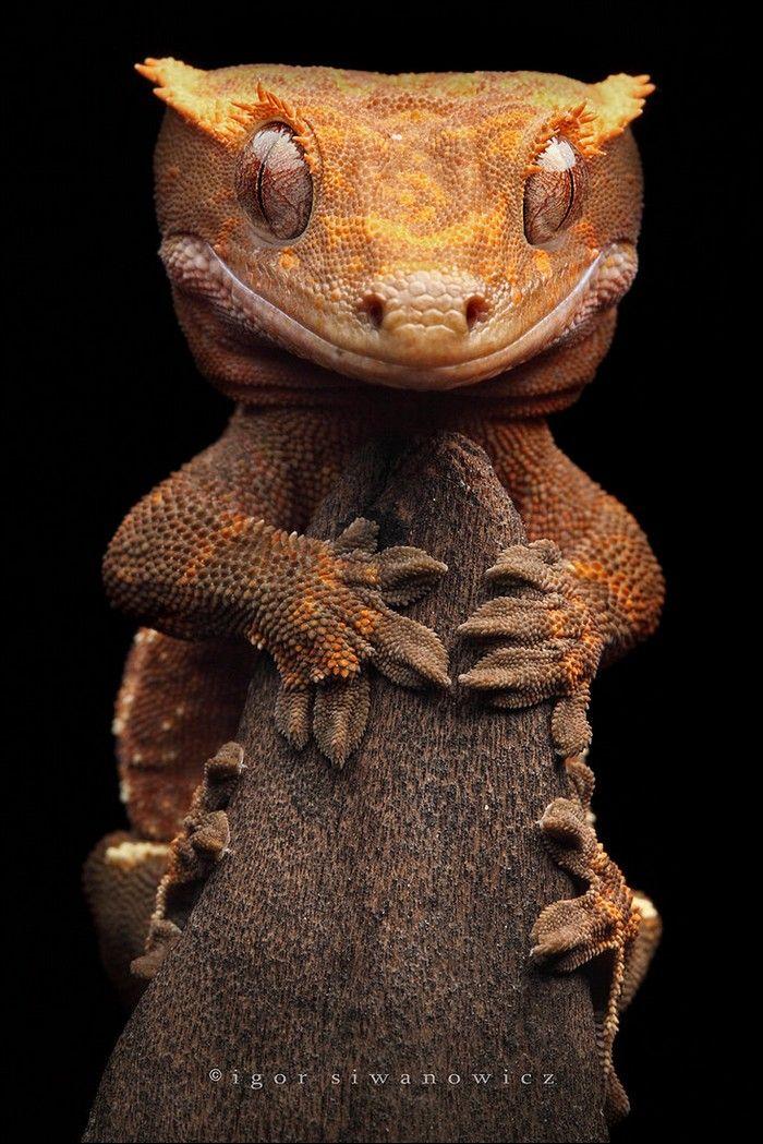 Correlophus ciliatus, nommé Rhacodactylus ciliatus jusqu'en 2012, est une espèce de geckos de la famille des Diplodactylidae1. En français il est appelé Gecko à crête, Gecko à cils ou encore Gecko à frange. On l'a cru éteint jusqu'à sa redécouverte en 1942. C'est un animal populaire dans le milieu de la terrariophilie pour son maintien relativement aisé et son caractère peu farouche.