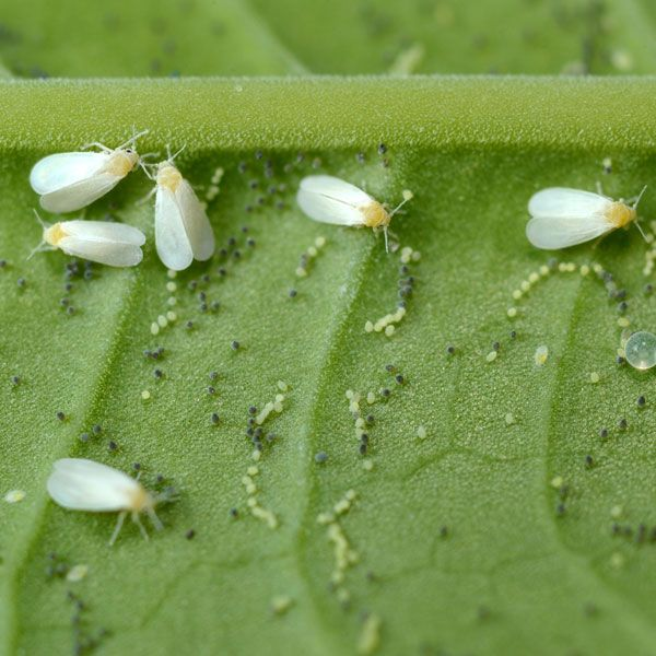 Whitefly has developed resistance to many synthetic pesticides making chemical control difficult. Here's how to get rid of whiteflies naturally without toxic sprays.