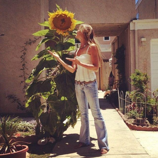 Mammoth #sunflower in my #garden
