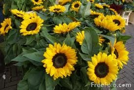 ...Sunflower...