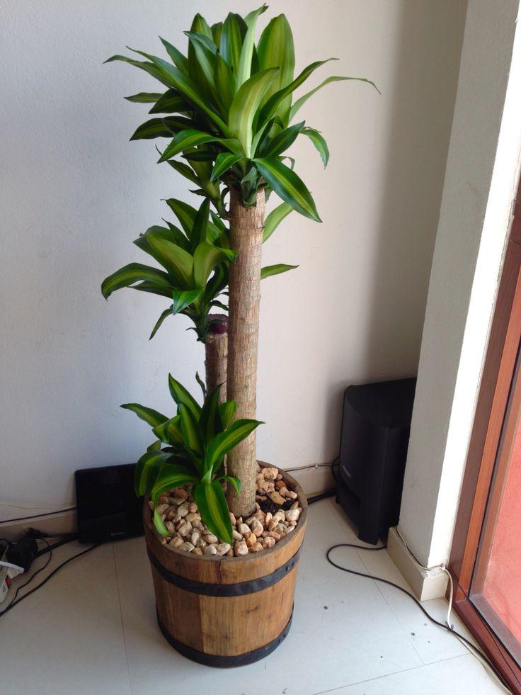 Palo de brasil indoor plant home ideas pinterest - Macetas interior ...