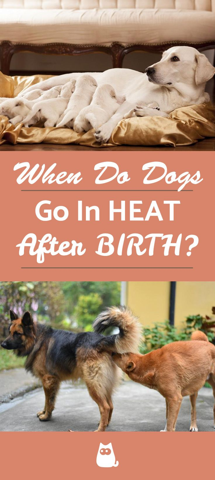 When Does A Dog Go Into Heat After Having Puppies Answer More Dog Having Puppies Pregnant Dog Puppies
