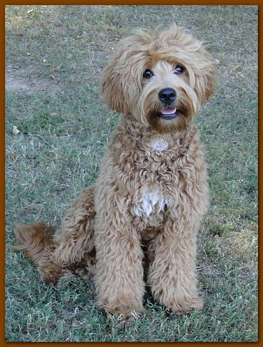 Labradoodle light brown wavy fur. dog