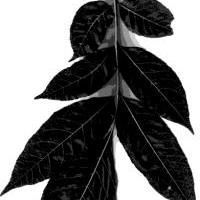 Identify a Tree by Leaf Silhouette : Silhouettes Hickory Leaf
