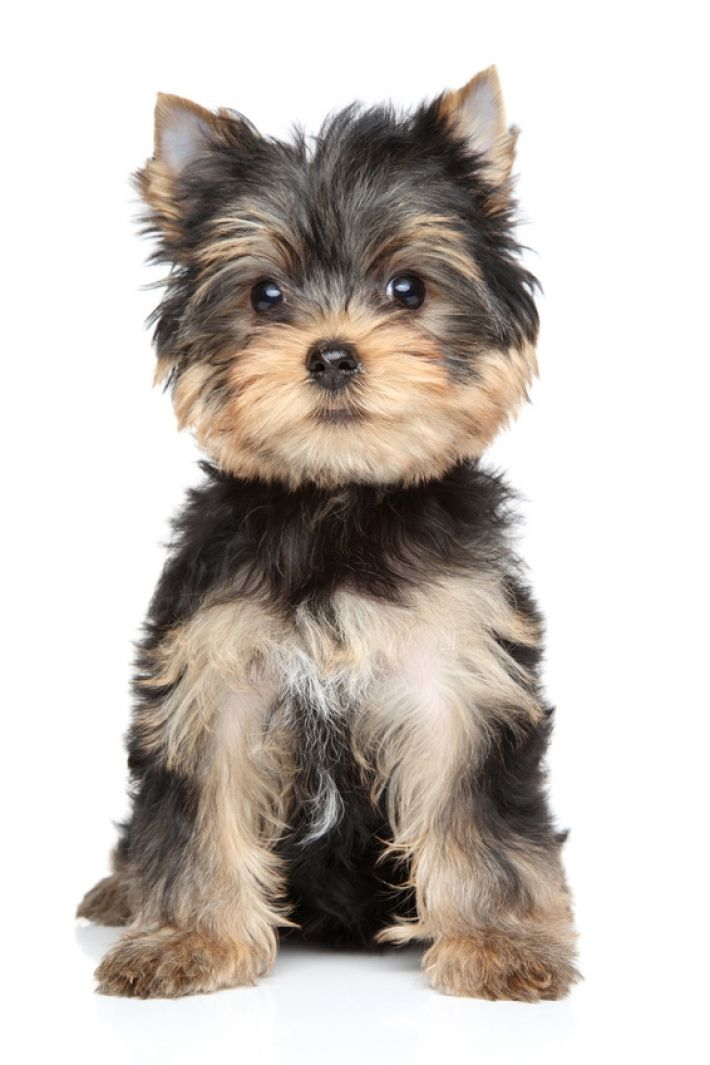 Photo Yorkshire Terrier