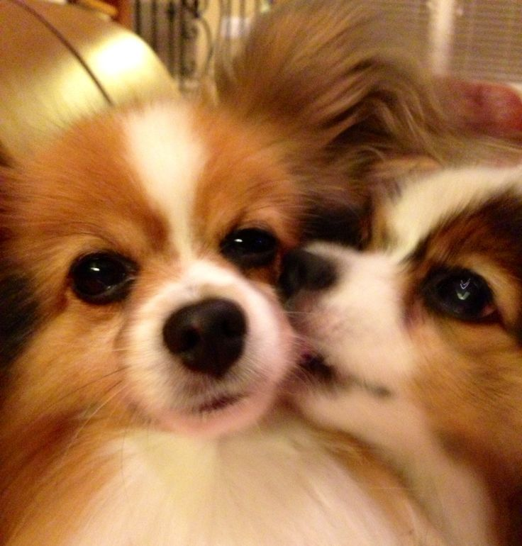 Download Papillon Canine Adorable Dog - 20a96169d89c6df05e7323af0fce0992--papillon-dog-beautiful-dogs  Perfect Image Reference_861486  .jpg