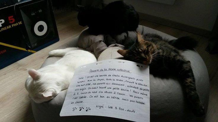 « Hello, on est une bande de chats Auvergnats plutôt sympas.Mimi la Chipie, Bidu le Tendre et Emmett le Zébulon. Une nuit d'été, nos parents qui dormaient, entendent de petits cris aigüs : on avait trouvé une petite souris !! Mais même à 3, aucun de nous n'a réussi à l'avoir…les parents l'ont libérée. On est bon en bêtise mais pas fortiche en chasse. Signé : les 3 pas doués.«   Ha ha les pas doués :p