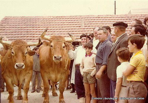 Paseo y exhibición de bueyes en Getxo, 16 de agosto de 1972. Los bueyes se llamaban Galán y Lindo y pesaron 1571 kg. en canal. Foto tomada en el patio del matadero municipal (Cedida por Santos Cajigas) (ref. 03422)