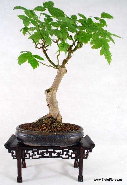 Bonsái Acer. Venta Online de bonsáis en Zaragoza.