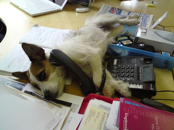 Scamp the Carswell Gould Office Dog taking an important call