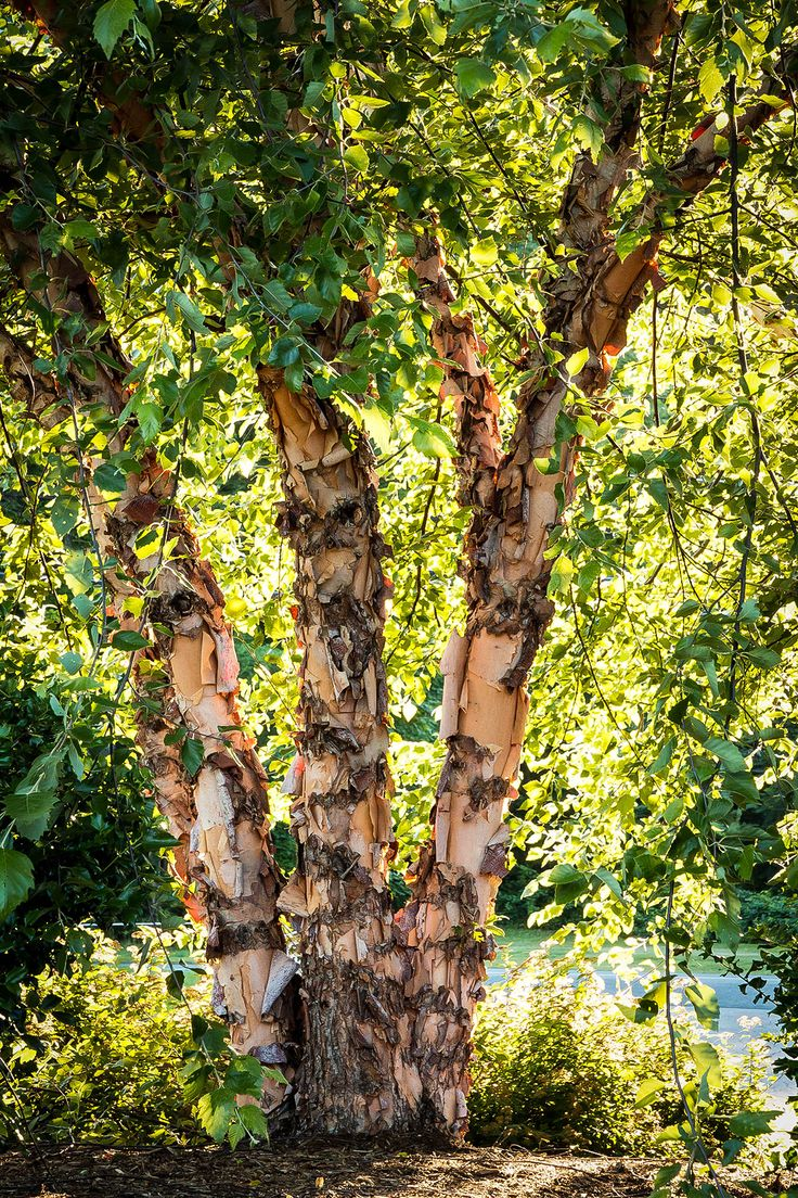 Silver Birch Trees For Sale