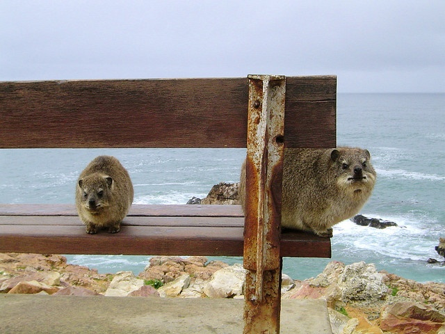 Say hello to Dassies in South Africa! Aren't they cute?