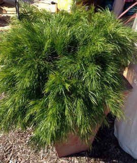 "'Cousin Itt' Plant - Acacia cognata - Indoors or Out - 4"" Pot"