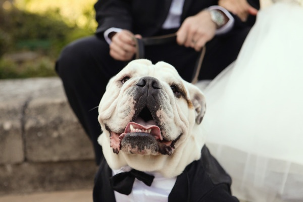 Style Me Pretty | Gallery | Picture | #658709: Mansions Wedding, Bays Area, Kohls Mansions, English Bulldogs, Bulldogs Ingl, Favorite Dogs, Wedding Dogs, Dawn Photography, California Wedding