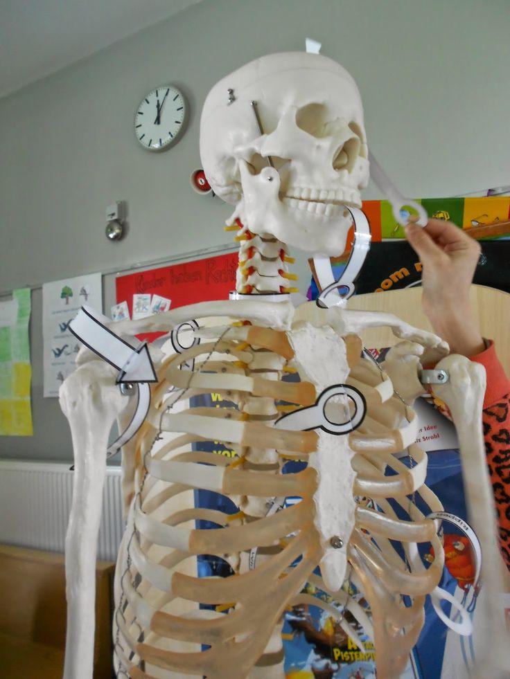 7 besten Skelette Bilder auf Pinterest | Menschlicher körper ...