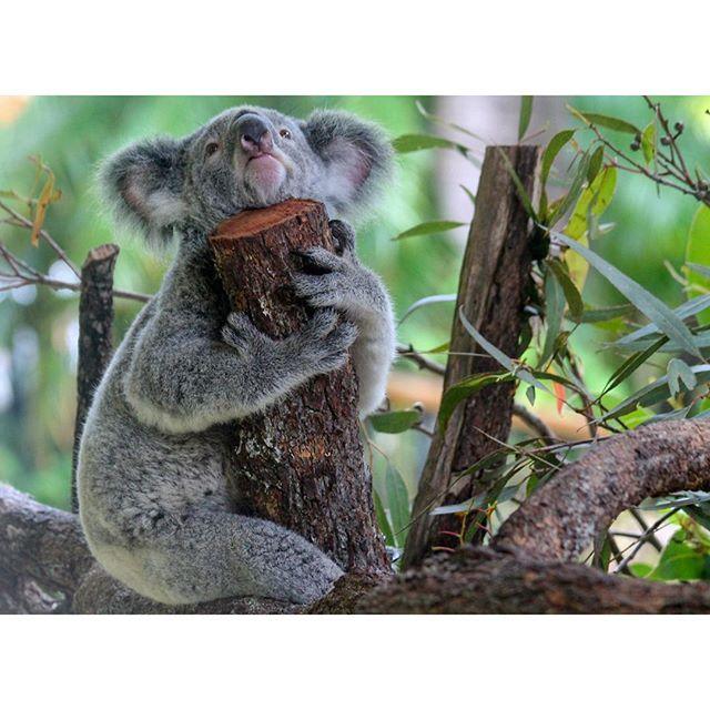 Koala-ty time with the locals at Kuranda's Koala Gardens #thisisqueensland by @heidi_nichs