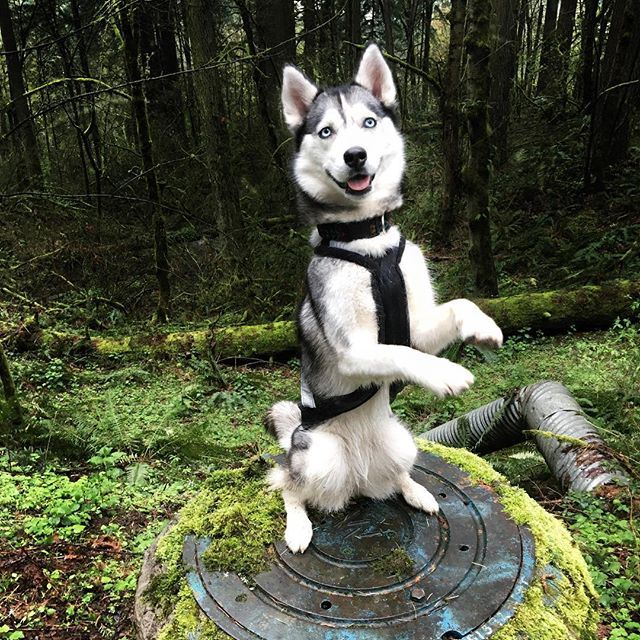 Pin By Lyrkanea On Husky Dog Breeds Snow Dogs Puppies
