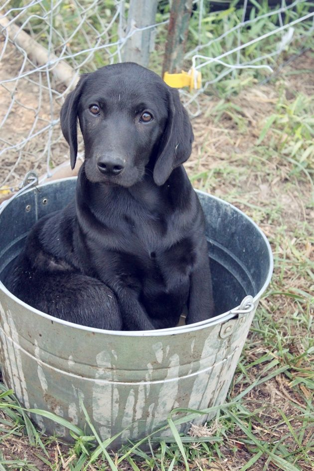 1000  images about black labs that remind me of my max on