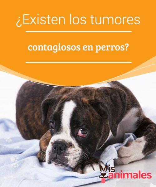 Existen Los Tumores Contagiosos En Perros Los Perros Se Huelen