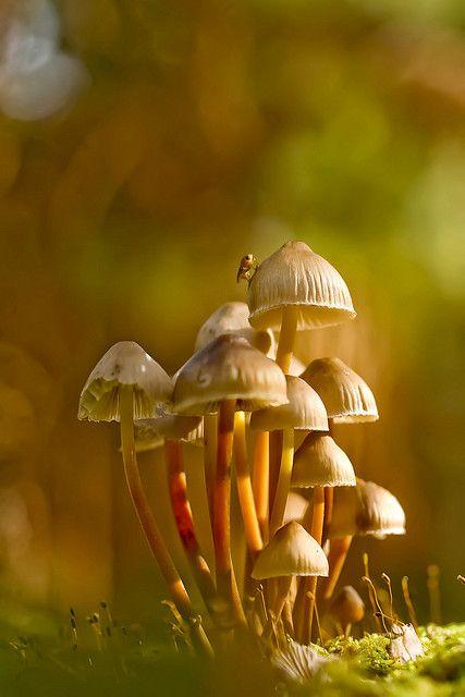 Clustered Bonnet Mushrooms by wentloog, via Flickr