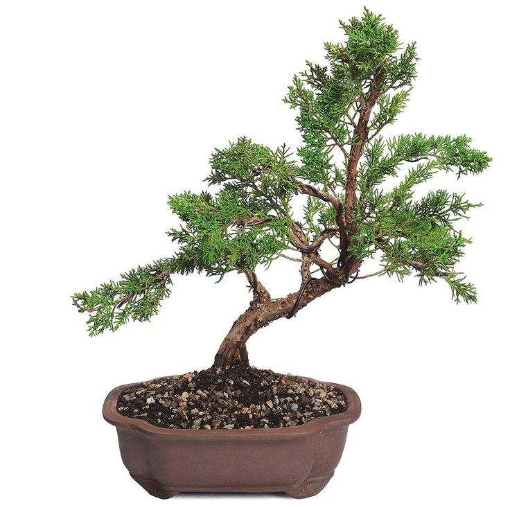 Bonsai Shimpaku Juniper Tree Trunk Palnt 7 Years Full Sun Outdoor Zen Calm Gift #BonsaiShimpakuJuniperTree