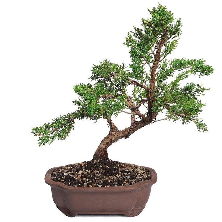 Bonsai Shimpaku Juniper Tree Trunk Palnt 7 Years Full Sun Outdoor Zen Calm Gift #BonsaiShimpakuJuniperTree