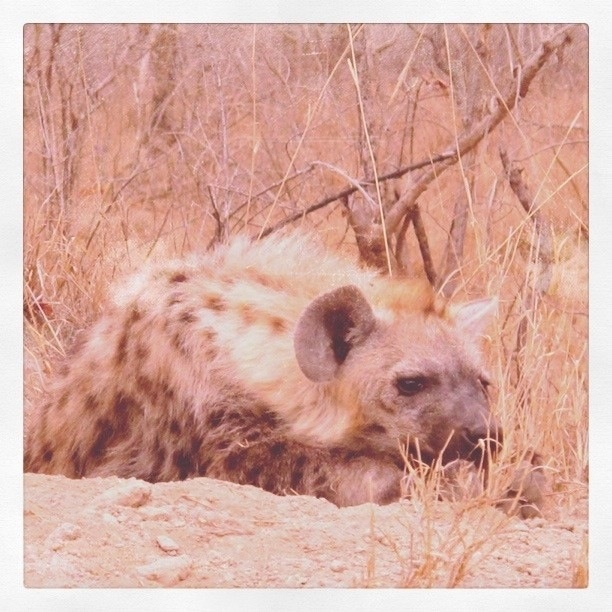 Hyena cub. Waiting for his folks to come back from hunting