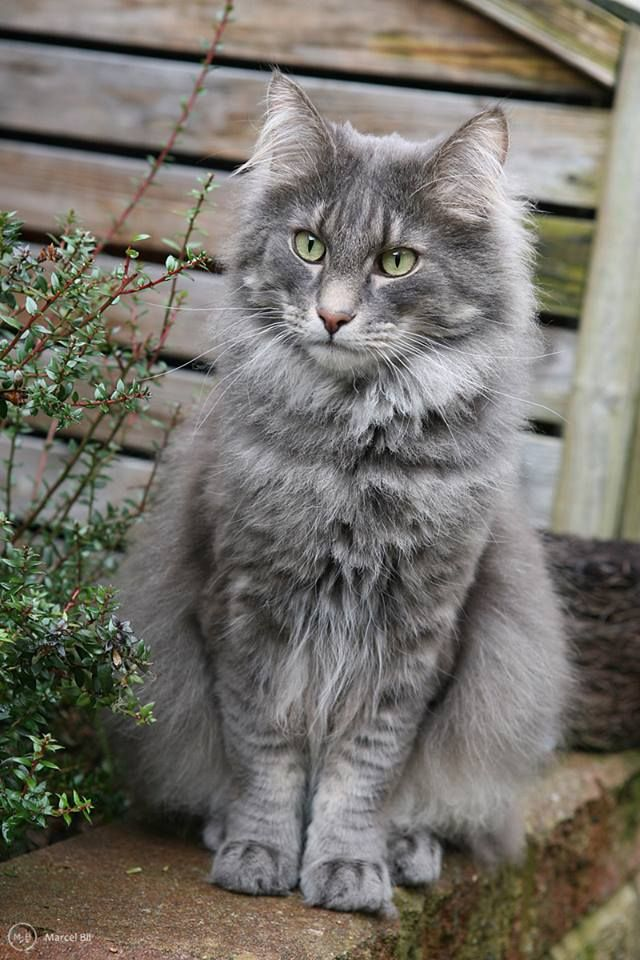 Fluffy White And Grey Cat 19 best Mountai...