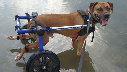Pet owners talk about caring for pets with special needs, dog wheelchairs, therapy and other supports...