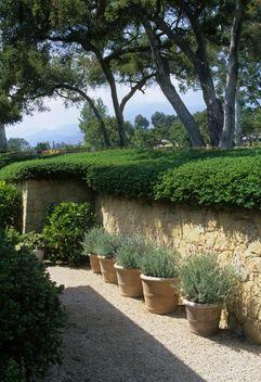 Row of lavender in containers. lavandula pots planters pathways walkways trees Cynthia & Chapin Nolen, Santa Barbara, Ca.