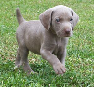 Want another Weim..this time a boy to be named Grayson!