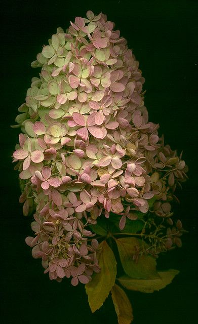 Limelight Hydrangea in autumn...