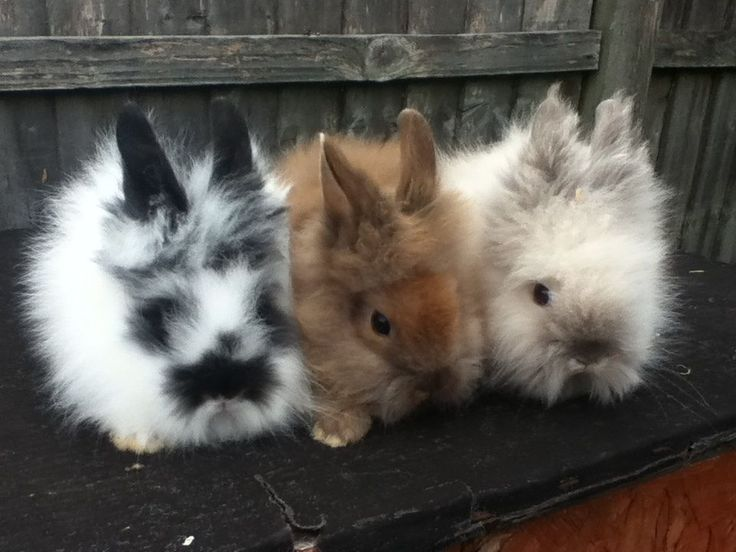 Love these guys! Lion head rabbits! I want one!