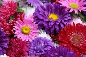 Image result for •	Asters