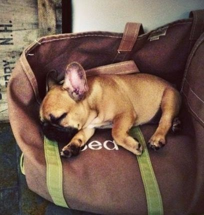 French Bulldog Puppy ❤