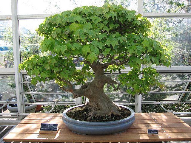 trident maple bonsai   Trident Maple Bonsai, 129 years old   Flickr - Photo Sharing!