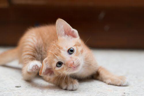 Si tu gato tiene caspa, no dudes en leer el siguiente artículo. Te hablaremos sobre las causas, cómo combatirla y sobre todo la manera de evitarla.
